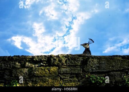 Capo di un pavone appare sopra il vecchio muro di pietra, con cielo blu Foto Stock