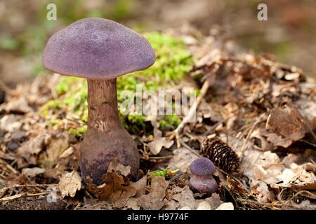 Viola (fungo Cortinarius tendente al violaceo) in foglia secca Foto Stock