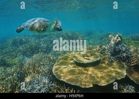 Una tartaruga verde nuoto subacqueo oltre un sano Coral reef in acque poco profonde, Nuova Caledonia, oceano pacifico Foto Stock