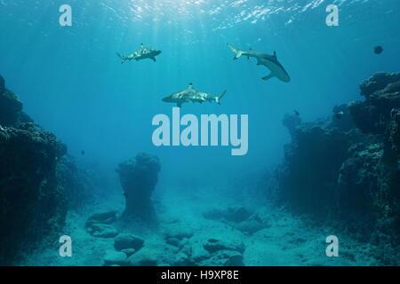 Tre blacktip squali di barriera nuoto subacqueo tra il fondo dell'oceano e la superficie, oceano pacifico, Polinesia Foto Stock