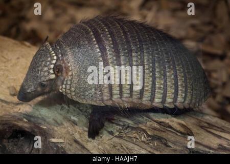 Big hairy armadillo (Chaetophractus villosus), noto anche come il grande hairy armadillo. Foto Stock