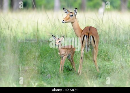 Impala (Aepyceros melampus) la madre e il nuovo nato infantile, baby, il Masai Mara riserva nazionale, Kenya Foto Stock