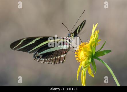 Zebra Longwing Butterfly (Heliconius charitonius) alimentazione in un prato assolato, Aransas, Texas, Stati Uniti Foto Stock