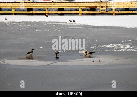 Hooded crows sul mare ghiacciato. Foto Stock