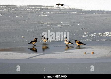 Hooded crows su ghiaccio. Foto Stock