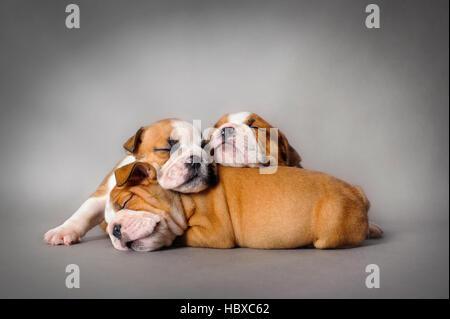 Sleeping Bulldog inglese cuccioli su sfondo grigio Foto Stock