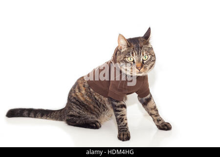 Immagine di tabby cat vestito in un ponticello marrone. Foto Stock