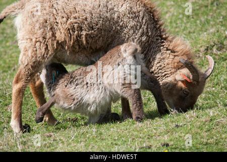 Il lattante Soay agnello e madre sull isola di Hirta, St Kilda arcipelago, Scozia.