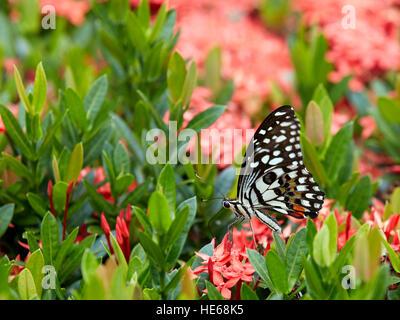 La farfalla del limone (Papilio demoleo) si trova su un cespuglio fiorito. Hue, Vietnam. Foto Stock