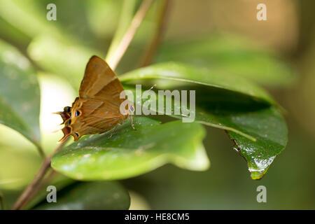Orange buterfly in Madagascar la foresta pluviale, Analamazaotra Parco nazionale del Madagascar flora e fauna Foto Stock