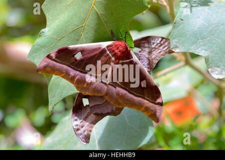 Gonimbrasia rare, probabilmente belina specie di imperatore tarma grande farfalla nel Parco Nazionale Masoala. Tamatave Foto Stock
