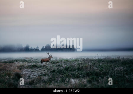 Bellissimi cervi stag sul campo nei pressi di foggy brumoso paesaggio forestale in autunno in Bielorussia. Foto Stock