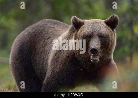 Orso bruno ritratto nella foresta a caduta Foto Stock