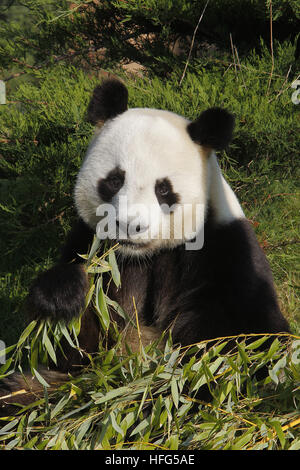 Panda gigante, Ailuropoda melanoleuca, adulti di mangiare le foglie di bambù Foto Stock