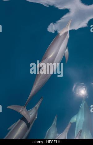 Spinner (delfini Stenella longirostris) crociera nel Pacifico tropicale oceano. Questi cetacei sono noti per le Foto Stock