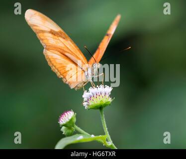 Julia Heliconian (Dryas iulia) alimentazione su un fiore, Belize, America Centrale Foto Stock