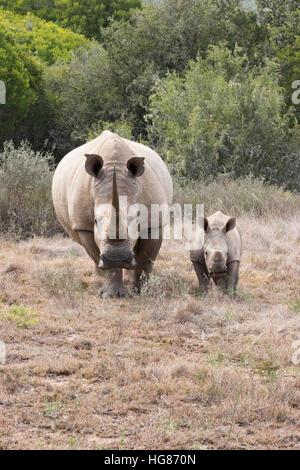 White Rhino - madre e 2 mese di vitello, vista frontale, Sud Africa Foto Stock