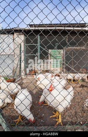 Bianco di polli o galline all'interno di un pollaio o gallina casa visto attraverso il filo di pollo.