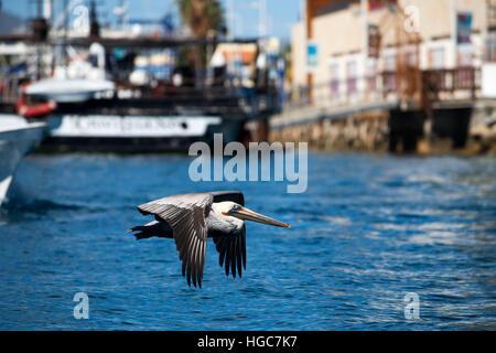 Pelican volando sopra la Marina, Cabo San Lucas, Los Cabos, Baja California, Messico. Foto Stock