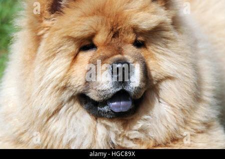 Close-up verticale di un chow-chow dog Foto Stock