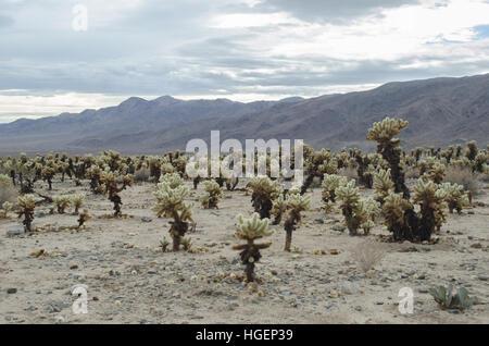 Cholla cactus garden, Joshua Tree National Park Foto Stock