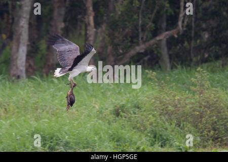 Bianco-gonfiato aquila del mare (Haliaeetus leucogaster) portante un morto sibilo piumati-anatra (Dendrocygna eytoni)