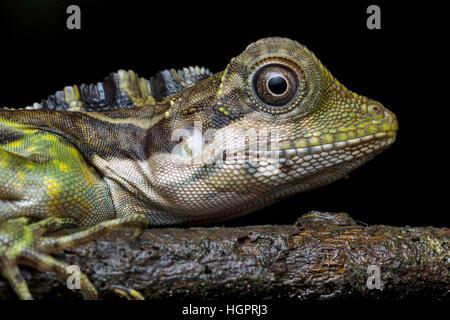 Grande Anglehead Lizard (Gonocephalus grandis) Foto Stock