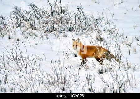 Una volpe rossa 'Vulpes vulpes'; una battuta di caccia in inverno la neve in Alberta Canada Foto Stock