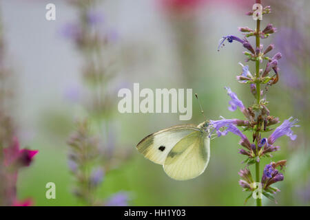 Un piccolo giallo di alimentazione a farfalla sui fiori viola con una verde e Sfondo rosa. Foto Stock