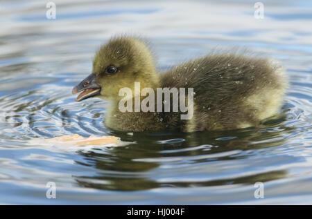 Un simpatico baby soffici Graylag Goose gosling (Anser anser) alimentazione su un lago. Foto Stock