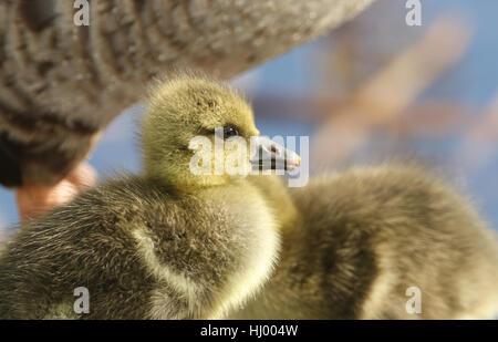Un colpo di testa di un simpatico baby Graylag Goose gosling (Anser anser). Foto Stock