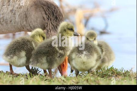 Carino fluffy baby Graylag Goose gosling (Anser anser) in piedi sulla riva di un lago con i loro genitori alla ricerca Foto Stock