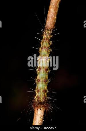 Pericolo caterpillar fondata a Nosy Mangabe Riserva Naturale, Madagascar la fauna selvatica e la natura selvaggia Foto Stock