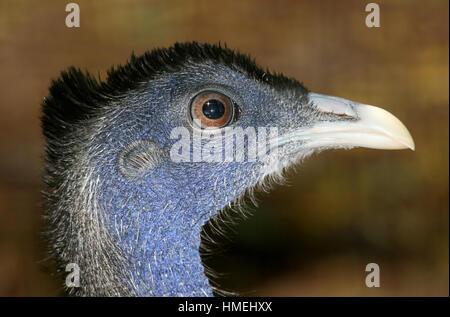 Capo di un maschio grande Argus Fagiano (Argusianus argus), nativo della giungla del Borneo, Sumatra e la penisola Foto Stock