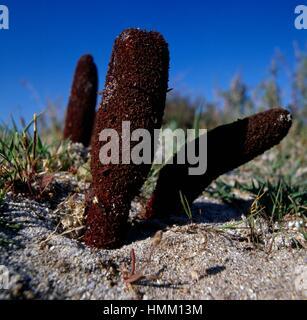 Fungo maltese o fungo Maltese (Cynomorium coccineum), Cynomoriaceae. Foto Stock