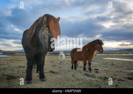 Cavallo islandese (Eguus cabballus) ritratto nel paesaggio islandese, Islanda. Foto Stock