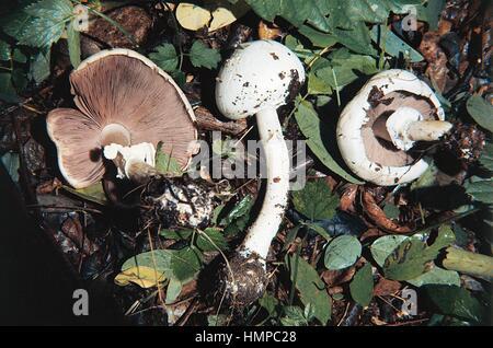 Legno (funghi Agaricus silvicola), Agaricaceae. Foto Stock