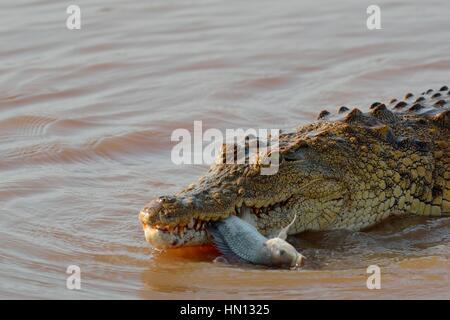 Coccodrillo del Nilo (Crocodylus niloticus) con il pesce ancora vivo nella sua bocca, Sunset Dam, Parco Nazionale Kruger, Mpumalanga, Sud Africa e Africa