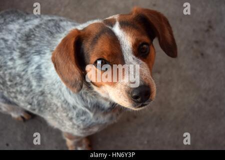 Blue Heeler Beagle Mix Foto Stock