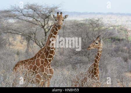 Due Wild traliccio giraffe, Giraffa camelopardalis reticulata, Bufalo Springs Game Reserve, Samburu, Kenya, Adulti Foto Stock
