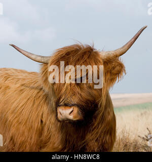 mucca dell'altopiano Foto Stock
