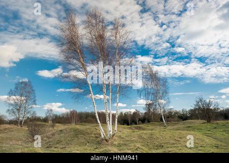 Argento sfrondato di betulle in inverno a Barnack colline e fori riserva naturale nazionale (NNR) e siti di particolare interesse scientifico (SSSI), Foto Stock