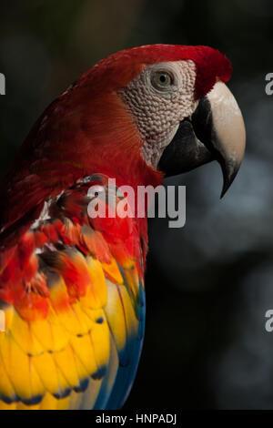 Scarlet Macaw: dettaglio. Grandi di colore rosso, giallo e blu Sud Americana parrot, fotografata nel Parco Nazionale Foto Stock