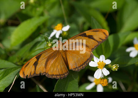 Julia Heliconian (Dryas iulia) Foto Stock