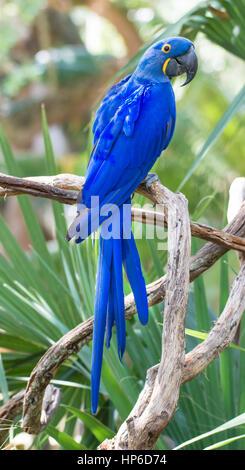 Deep Blue Giacinto Macaw Parrot Foto Stock