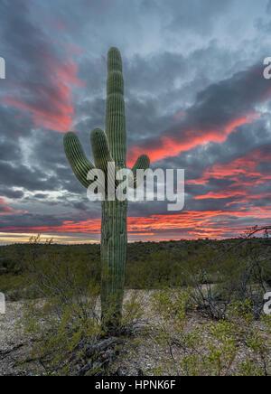 Cactus Saguaro stand contro il sole al tramonto vicino a Tucson in Arizona Foto Stock
