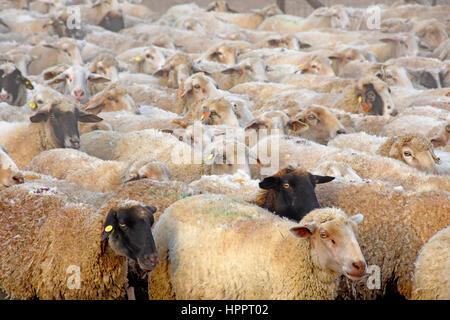 Allevamento di ovini in stretta fino Foto Stock