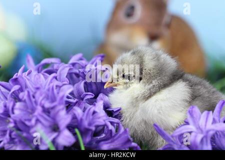 Piccolo Blu pulcino Cohin nel mezzo di fiori di primavera. Estrema profondità di campo con una certa sfocatura e Foto Stock