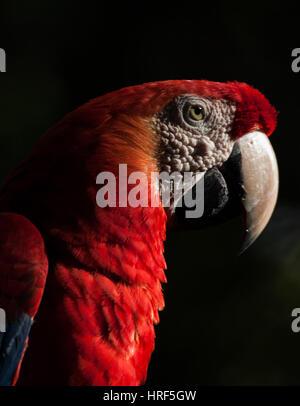 Scarlet Macaw è un grande rosso, giallo e blu Sud Americana parrot. Fotografato nel Parco Nazionale di Iguazu - Foto Stock