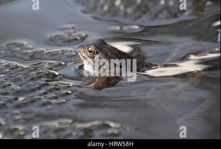 Rane comuni in un laghetto in giardino, Inghilterra Foto Stock